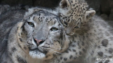 DYNAFIT_Snow Leopard Day