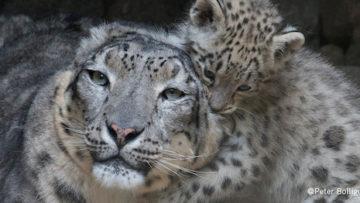 DYNAFIT_Snow Leopard Day